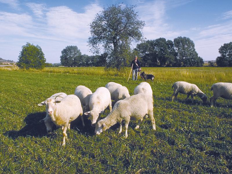 Schafe, im Hintergrund der Schäfer
