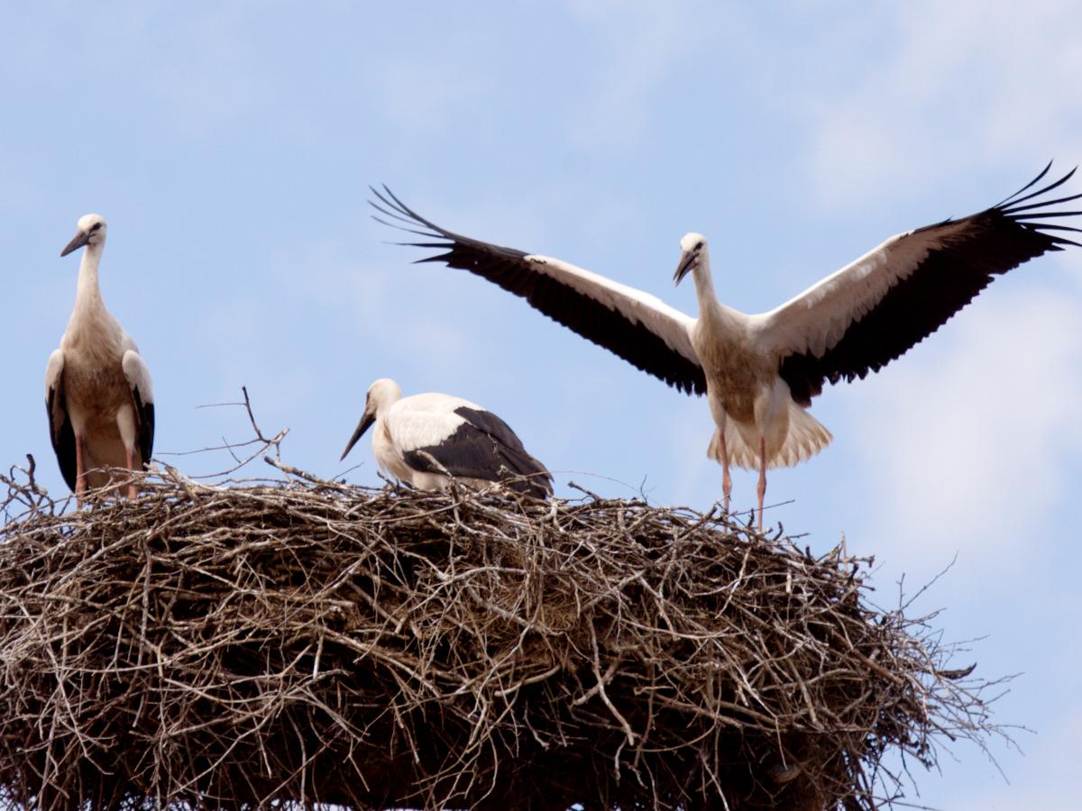 Drei junge Störche in einem Storchennest. Der Storch rechts hat beide Flügel ausgebreitet.