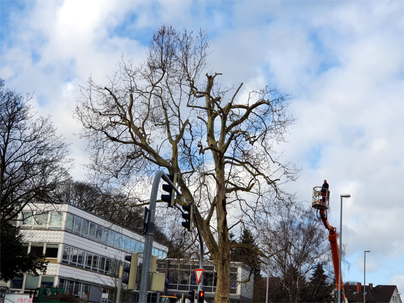 Fachleute des Fachbereichs Umwelt und Stadtgrün kürzen die Baumkrone einer Platane.