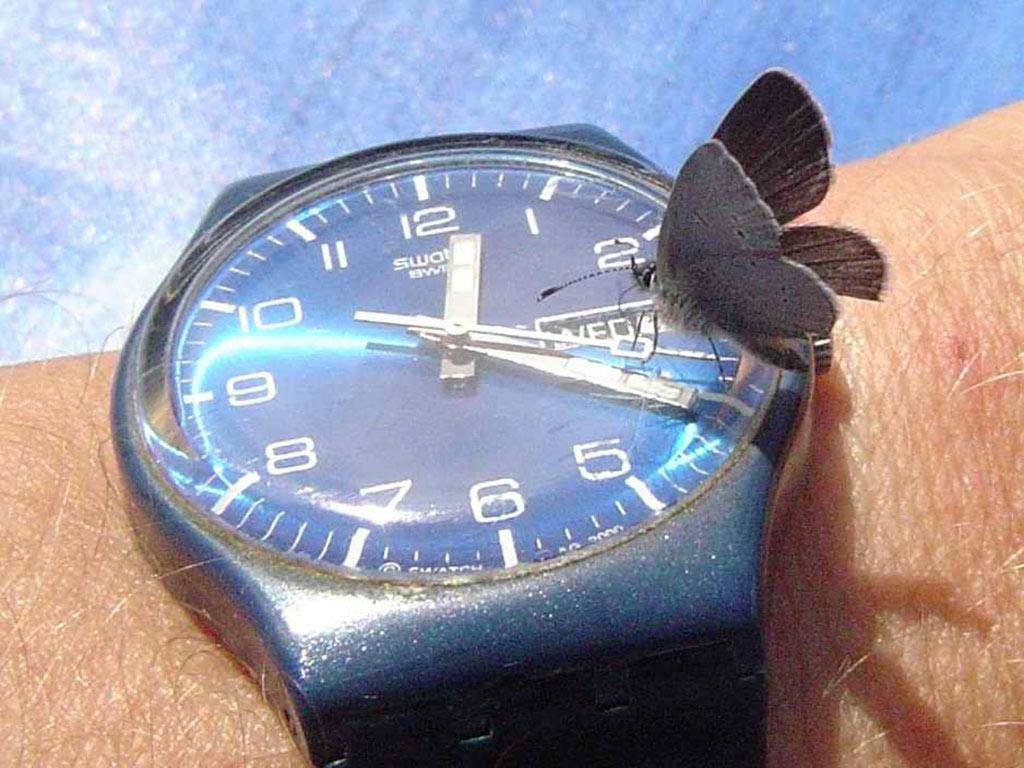 Ein Schmetterling sitzt auf einer Armbanduhr und scheint die Uhrzeit zu lesen