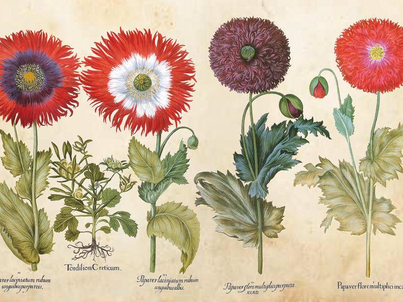 Historische Zeichnung von Blumen mit deren lateinischen Namen