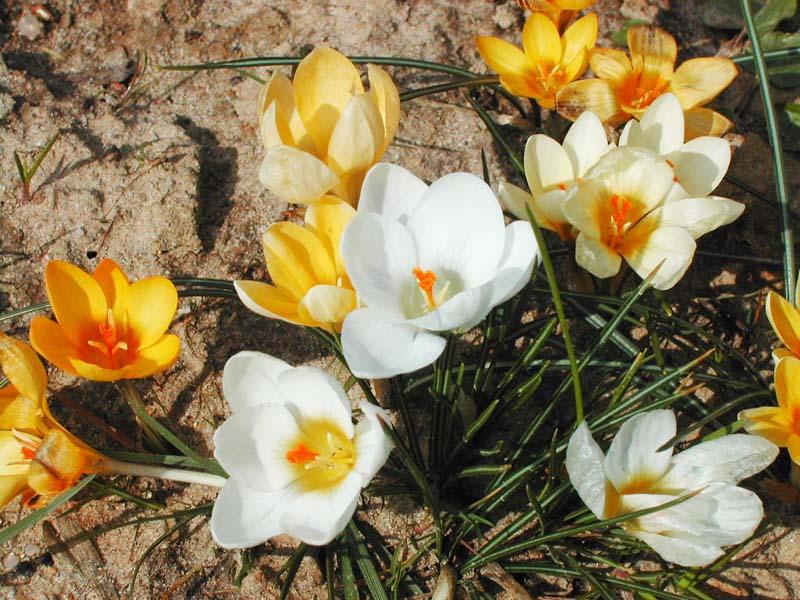 Nahaufnahme von weißen und gelben Krokussen