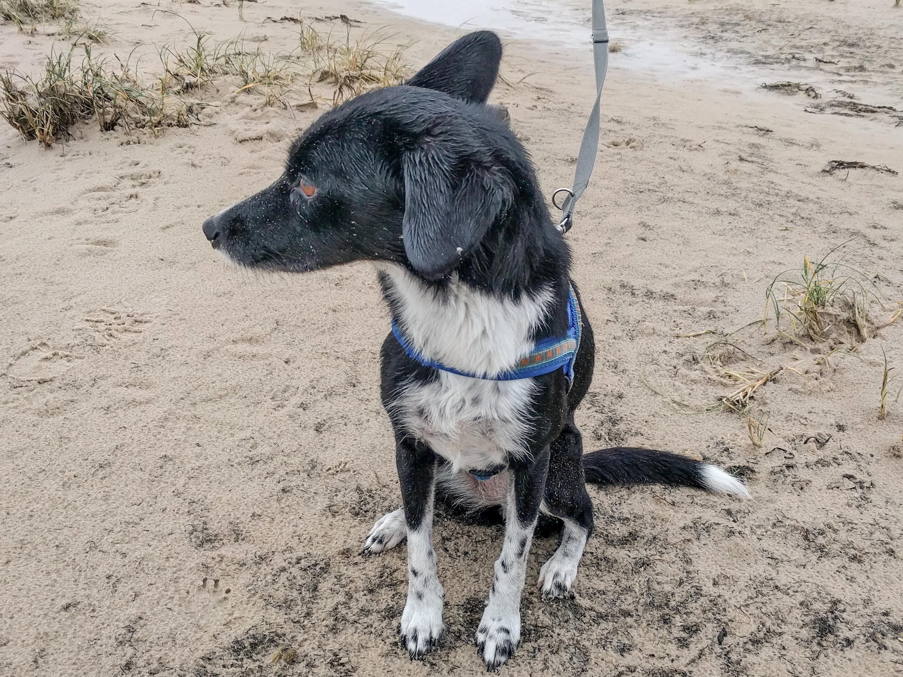 Ein schwarz weißer Hund an einer grauen Leine.
