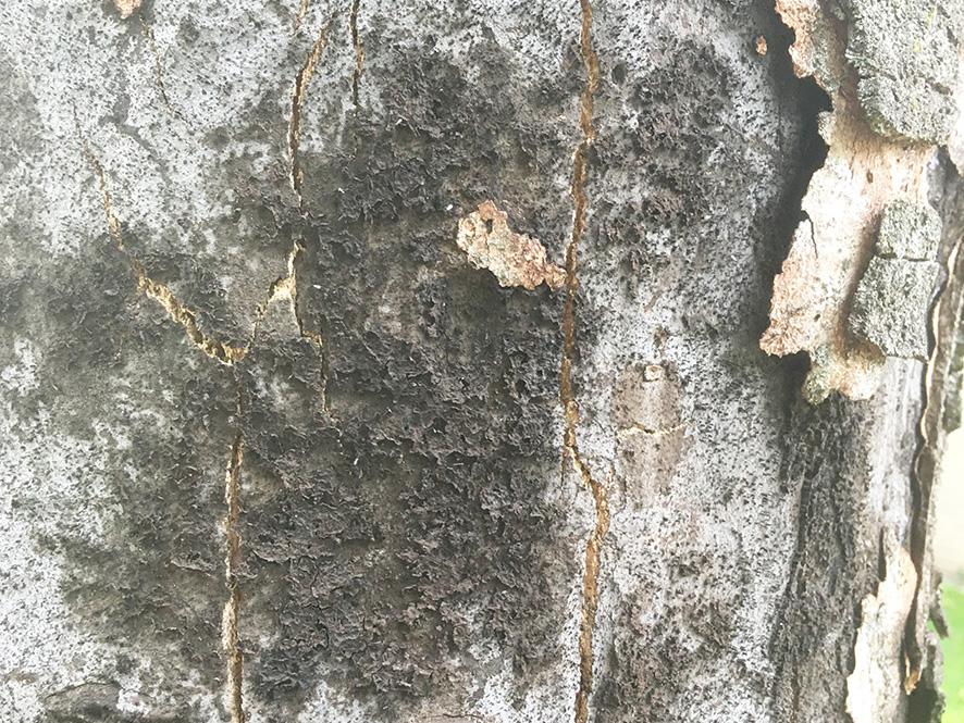 Ein Baum, der mit der Rußrindenkrankheit infiziert ist