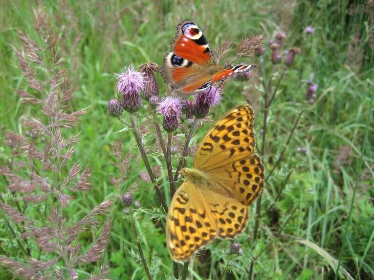 Hornbach Hannover Tapeten : Schmetterling Schmetterlinge Tagfalter Tagpfauenauge Tagpfauenaugen