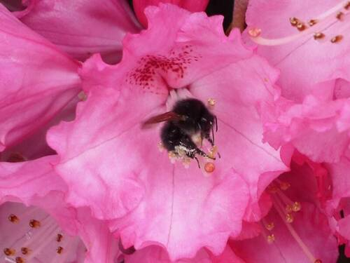 Hummel in Rhododendronblüte