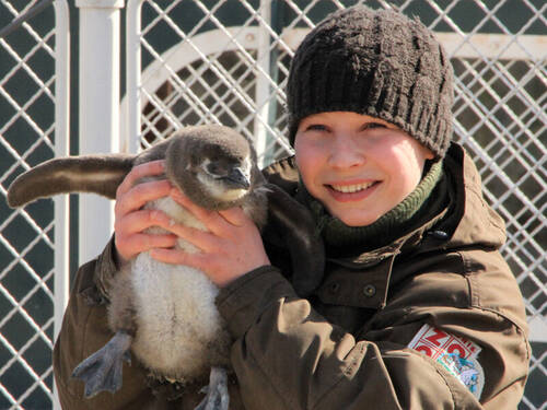 A zookeeper is holding a penguin chick in her hands.
