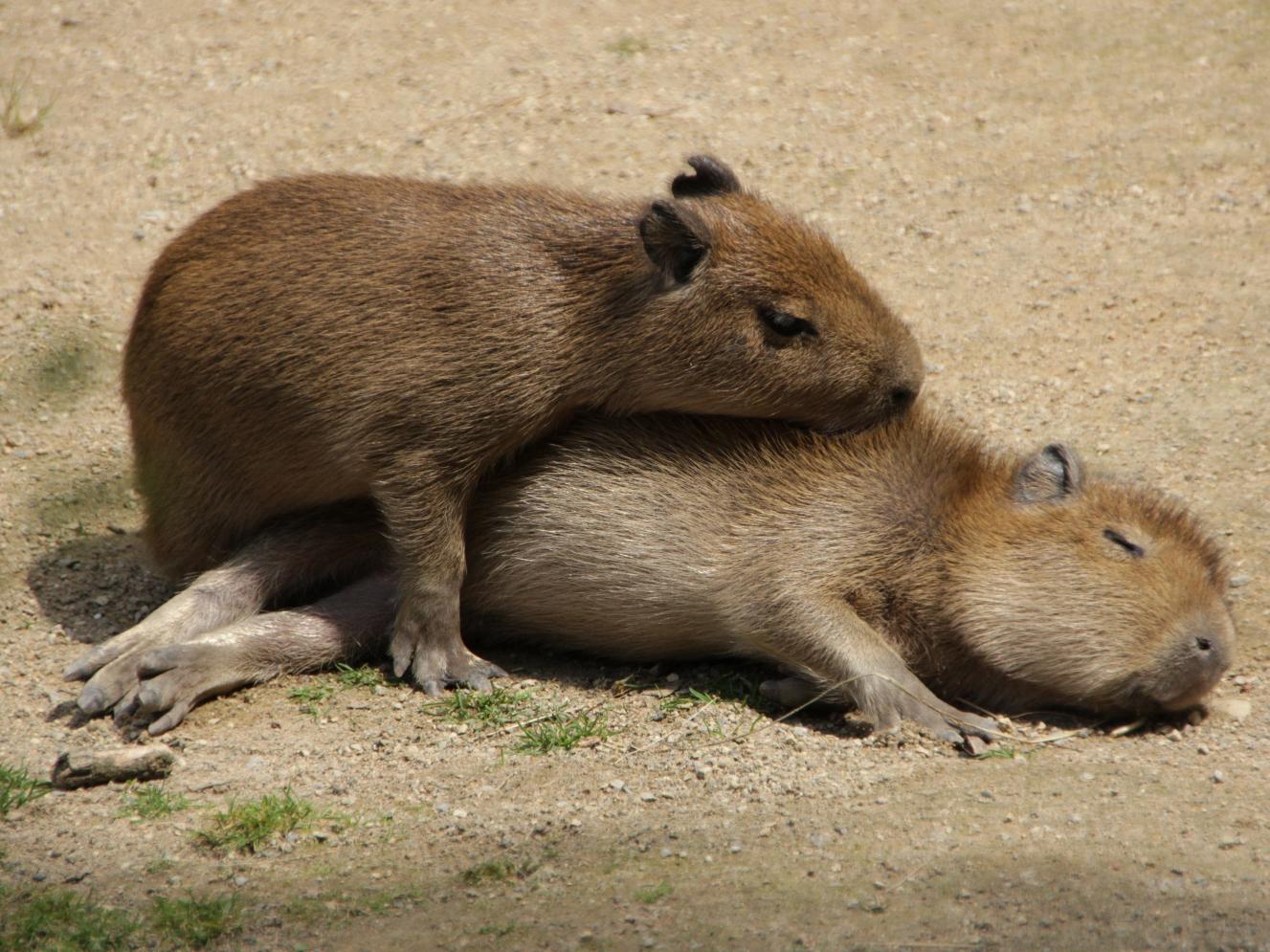Zwei kleine Wasserschweine beim Sonnen.