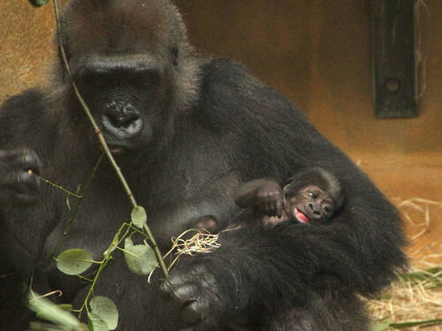 A big gorilla holds a little baby gorilla in his arms.