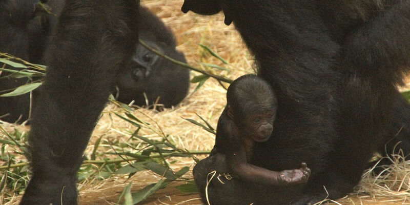 A little baby gorilla holds its hand forward.