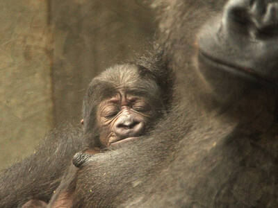 A baby gorilla is sleeping at its mother's breast.