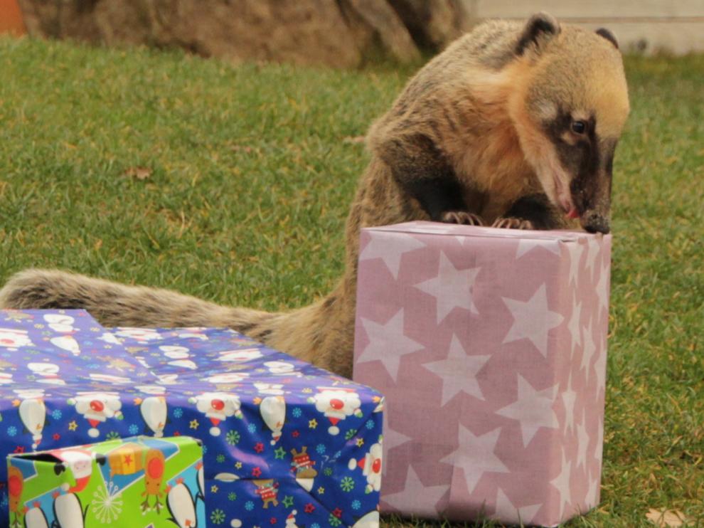 Nasenbärin mit Geschenk.