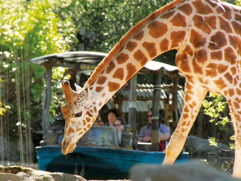 Giraffe, im Hintergrund ein Boot