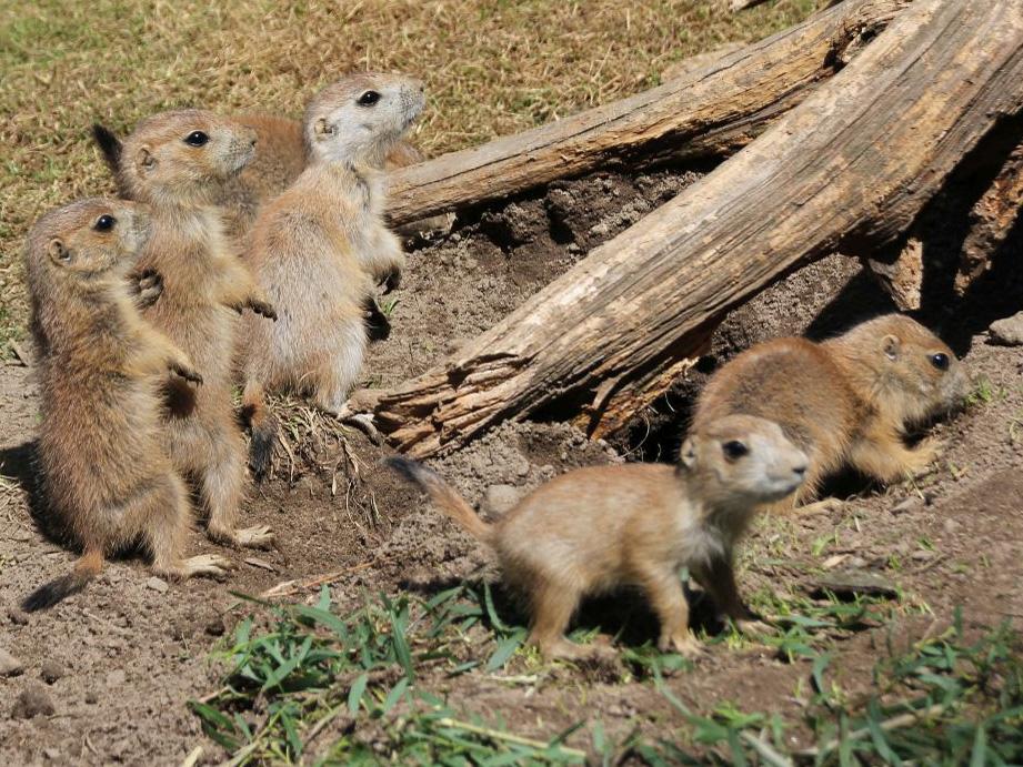 Kleine erdmännchenähnliche Tiere