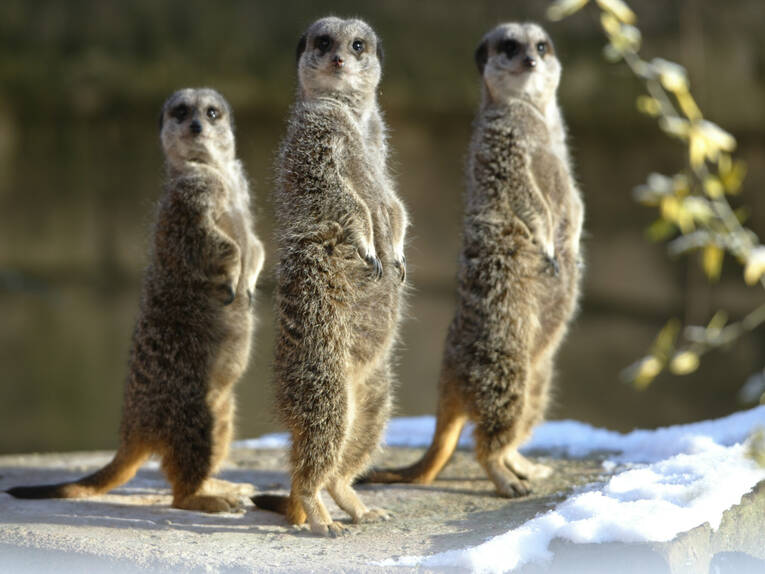 Suricates at Hannover Adventure Zoo