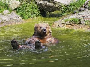 A bear is taking a bath in the lake at the Wisent Compound in Springe
